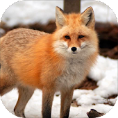 Fox Sounds and Ringtone