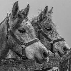 by Mario Horvat - Black & White Animals ( animals, outdoor, horse, natural, brothers,  )