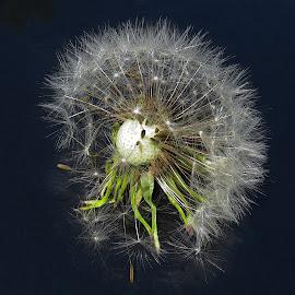 Dandelion II by Mārīte Ramša - Nature Up Close Other plants (  )