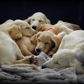 by Clare Draper - Animals - Dogs Puppies (  )