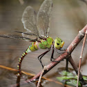 Blue – Tailed Green Darner