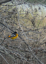 Photo: Oriole in early spring