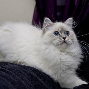 Blue eyes by Daniel Erstad - Animals - Cats Portraits