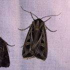 Dingy Cutworm Moth