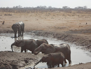 Photo: Drinking and bathing in some muddy water