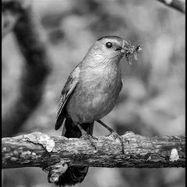 Cat Bird by Dave Lipchen - Black & White Animals ( cat bird )