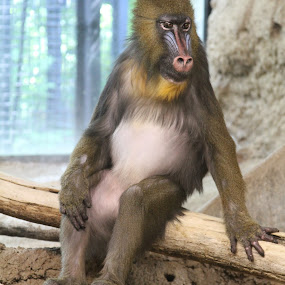 This is My Good Side by Bill Givens - Animals Other Mammals ( primate, monkey, mammal, amateur, zoo, sitting, posing )