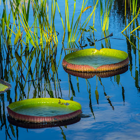 Lily Pads by Sally Shoemaker - Nature Up Close Other plants