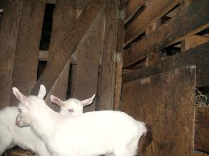 Photo: Потомство наших коз