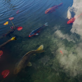 Koi Pond by Chris Seaton - Digital Art Animals ( pond, koi, reflection, clouds, lilly,  )