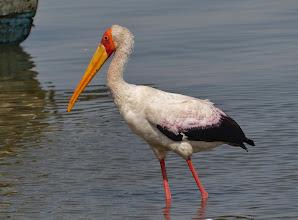 Photo: Vögel am Viktoriasee: Nimmersatt (Mycteria Ibis, Yellow-billed Stork)