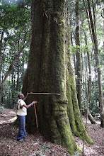 Photo: Dominic measuring a tree. The stick is 1.4 meters long (probably a Faurea saligna).