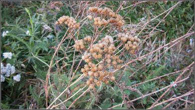 Photo: Turda - Str. Baladei , Coada șoricelului (Achillea millefolium)  - 2018.11.04
