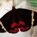Curoba moth