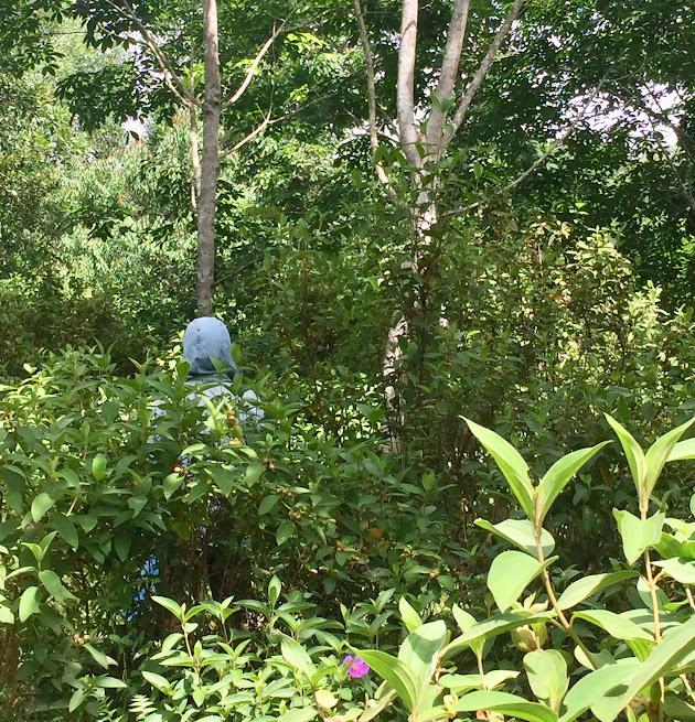 Vườn cao su 9 - 10 năm tuổi bị bỏ hoang, không khai thác chăm sóc, cây dại mọc um tùm