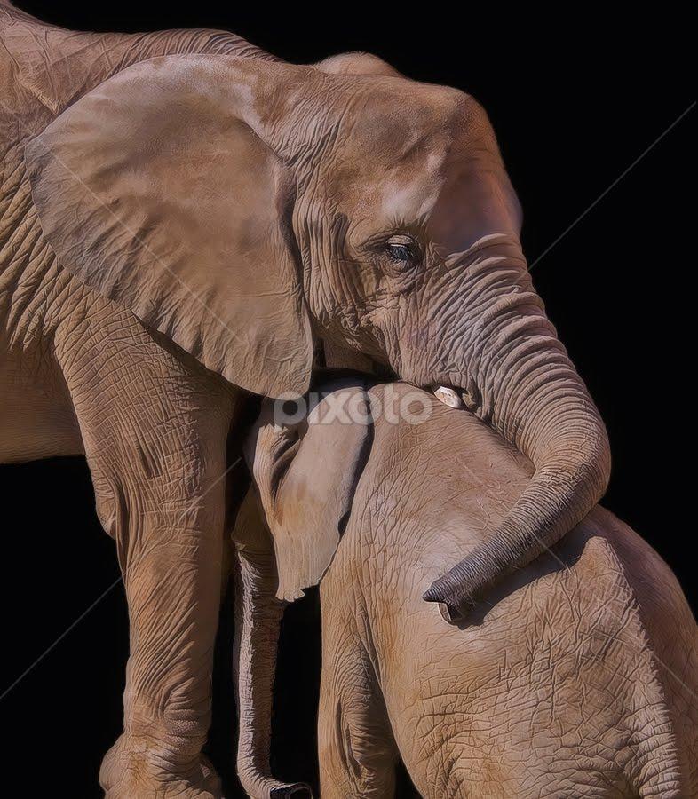 A Hug by Shelly Wetzel - Animals Other Mammals ( elephant )