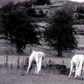 Long  lunchbreak by Gordon Simpson - Animals Horses