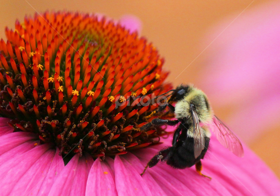 Just Bee Cause 20 by Terry Saxby - Animals Insects & Spiders ( canada, terry, bee, ontario, batawa, saxby, flower )
