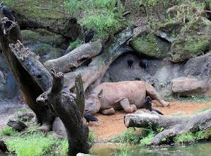 Photo: A Rhino at Disney Animal Kingdom