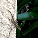 Brown Anole ( Where Is Its Eyes? )