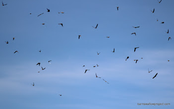 Photo: A sky full of sand martins