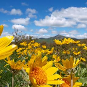 Abundant Life by Vanessa Latrimurti - Landscapes Mountains & Hills ( clouds, yellow flowers, mountain, blue sky, bright, sunny, vast, colorado, daisy, summer, sunflower, depth )