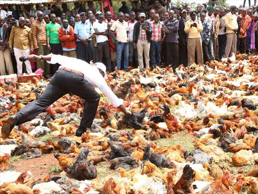 Deputy President William Ruto tries to catch a chicken during the Kambi Kuku Auction at Kambi Kuku in Turbo Constituency, Uasin Gishu county, last year on April 21.