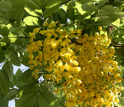 Photo: Day 317 - Cassia Fistula, or  Golden Shower Tree, or Indian Laburnum, or  Ratchaphruek is Thailand's National Flower