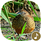 Barred buttonquail Calls