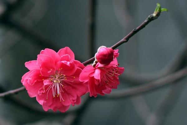 Kết quả hình ảnh cho hoa đào