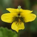 Yellow Violet