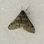 Toothed Phigalia Moth male