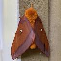 Female Northern Pink-striped Oakworm Moth