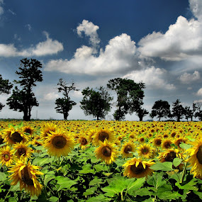 Romania by Daliana Pacuraru - Landscapes Prairies, Meadows & Fields ( field, daliana pacuraru, summer, romania, yellow, flowers, pwcflowergarden-dq, Hope, relax, tranquil, relaxing, tranquility )