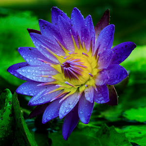 waterlily sept500.jpg