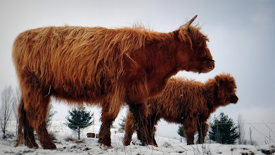 Photo: Val & calf in full winter coats...