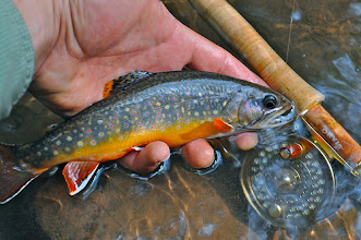 Photo: Wild Brookie caught on one of the many wild Brook trout streams nearby