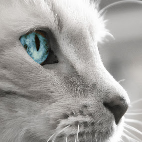 Blue by Virginia Folkman - Animals - Cats Portraits