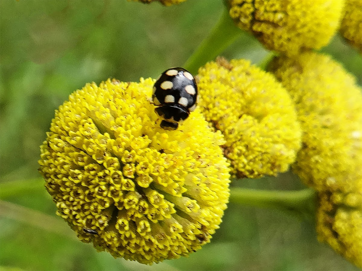 Black 14-spot ladybug