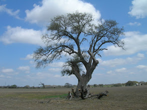 """Photo: South of Seguin, near Cibolo Creek, stands the """"Deaf Smith Oak,"""" where the Texian spied on the Mexican army camped across the creek in the fall of 1835."""