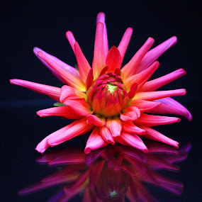 Flower Reflection by Phil Le Cren - Nature Up Close Flowers - 2011-2013 ( reflection, nature, flower )