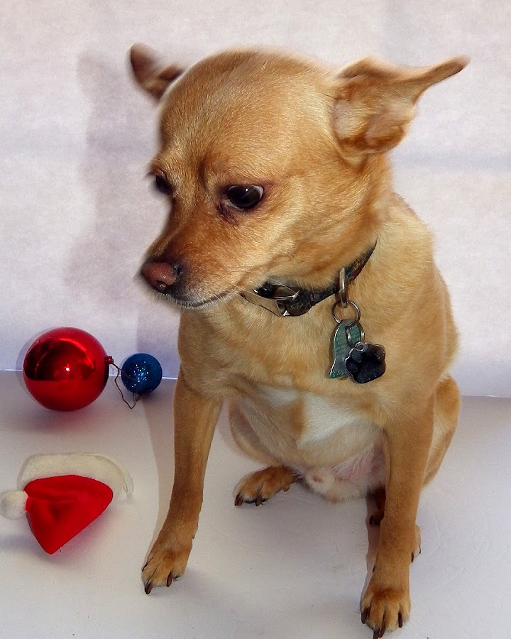 Rusty by Peggy LaFlesh - Animals - Dogs Portraits ( chihuahua, dog )