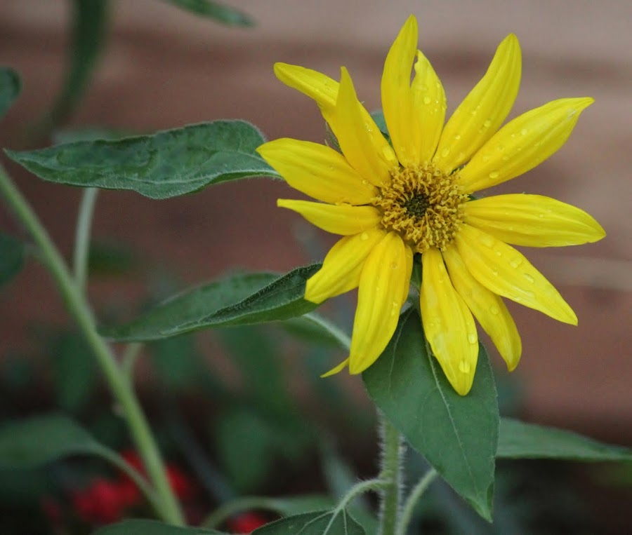 Sunflower by Lydia Schoeman - Flowers Single Flower (  )