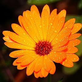 Souci souci souci  by Gérard CHATENET - Flowers Single Flower