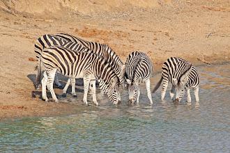 Photo: Common Zebras