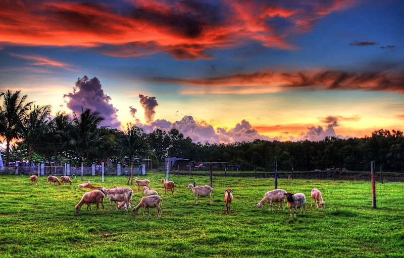 Photo: Lambs and Sunsets