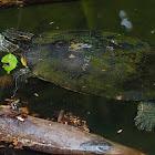 Tortuga (Pond slider)