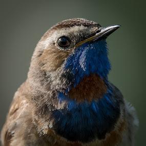 Bluethroat close up by Rita Birkeland - Animals Birds ( animals, wildlife, natur, ville fugler, close up, birds, wild birds, norway, dyr, bird, wilderness, fugler, nature, villt, norge, fugl )