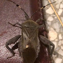 Leaf footed bug