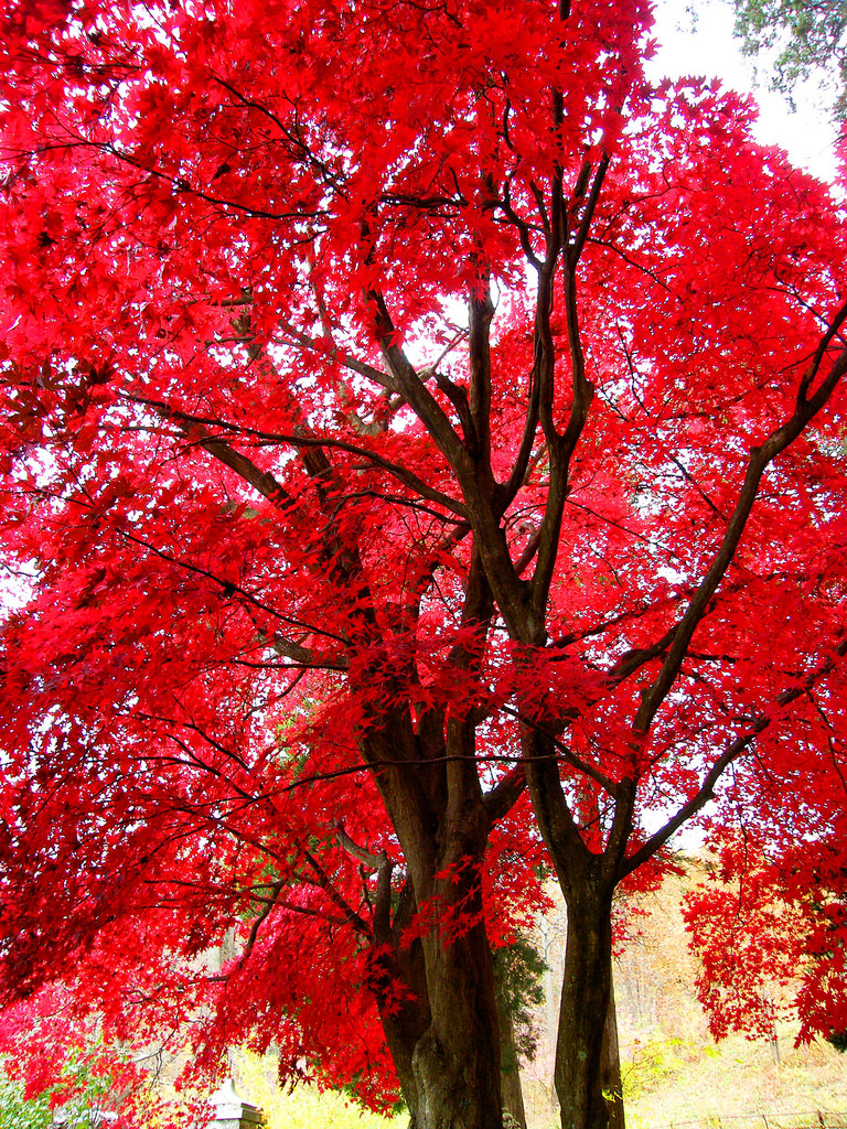 Brilliant Red Maple